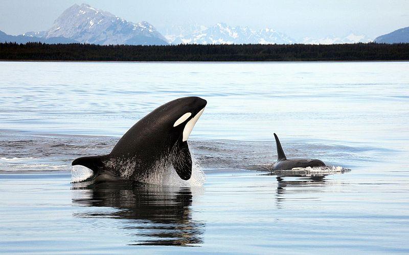 800px-Orca_Alaska