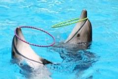 3334939-deux-beaux-effectuer-des-dauphins-jouer-avec-des-cerceaux-en-bleu-d-39-eau