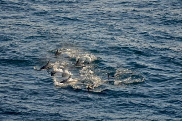 Les dauphins nagent libres au large du Japon. Dolphins swim freely near the Japanese coast.