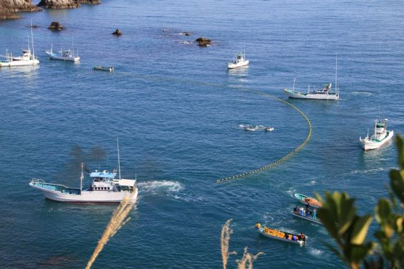 Les pêcheurs déploient les premiers filets pour emprisonner les dauphins vers la Cove. Fishermen stretch out a first line of nets to trap the dolphins within the Cove.