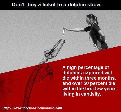 Un pourcentage élevé de dauphins captures meurent dans les trois premiers mois, et plus de 50% meurent dans les premières années après le début de leur captivité.