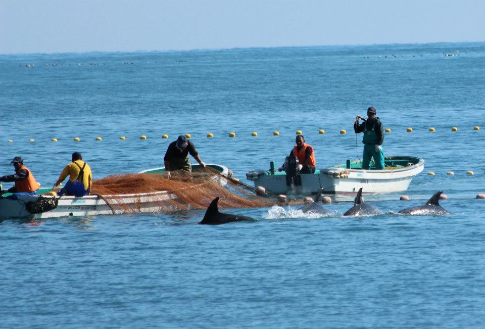 Une deuxième ligne de filets est mise en place. À ce moment, les dauphins sont tous dans la Cove en attente du massacre ou d'être sélectionné pour les parcs marins. A second line of nets is installed. At this time, all dolphins are all in the Cove, waiting to be slaughtered or selected for marine parks.