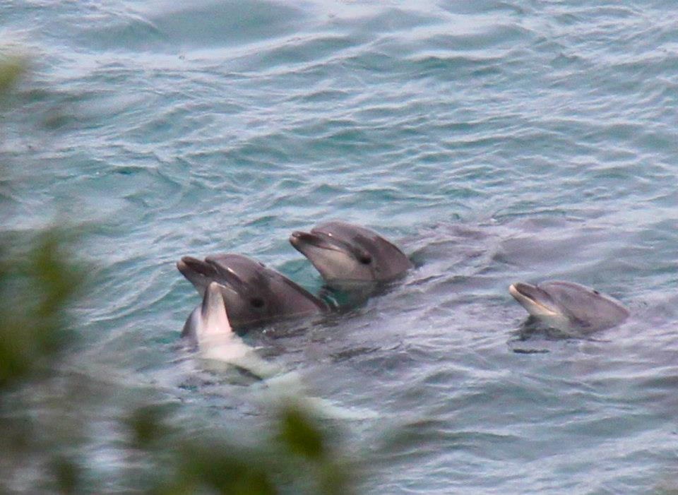 Les plus petits sont absolument terrorisés. Leur mère et d'autres adultes restent à leurs côtés à chaque instant. The calves are absolutely terrorised. Their mother and other adult dolphins stay by their side.